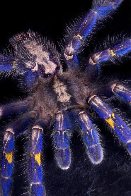 Blue Tarantula Hair Inspires Nonfading Color Pigment