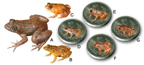 Seven new species discovered from the Western Ghats. A. Radcliffe's night frog (<i>Nyctibatrachus radcliffei</i>), B. Athirappilly night frog (<i>Nyctibatrachus athirappillyensis</i>), C. Kadalar night frog (<i>Nyctibatrachus webilla</i>), D. Sabarimala night frog (<i>Nyctibatrachus sabarimalaiI</i>), E. Vijayan's night frog (<i>Nyctibatrachus pulivijayani</i>), F. Manalar night frog (<i>Nyctibatrachus manalari</i>), G. Robin Moore's night frog (<i>Nyctibatrachus robinmoorei</i>). [(D-G. Size of the miniature species in comparison to the Indian 5-rupee coin (24 mm diameter)].
